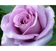 Роза New Blue
