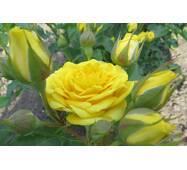 Троянда спрей Голд Бебі (ІТЯ-299)