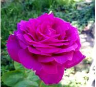 Роза чайно-гибридная Биг Перпл (ІТЯ-185)