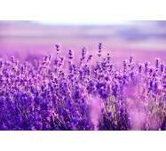 Екстракт квітів лаванди купити в Україні
