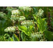 Экстракт травы ортилии однобокой (боровой матки) купить