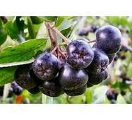 Екстракт плодів аронії (горобини чорноплідної) купити недорого