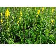 Экстракт травы репешка купить в Киеве