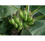 Банан Київський карликовий (ІКМ-11) за 2-4 л