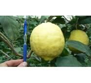 Лимон Київський великоплідний (ІКМ-1) за 0,5-1,5 л