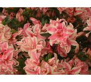 Азалія японська Melle 3 річна, Азалия японская /рододендрон Мелле, Rhododendron / Azalea japonica Melle