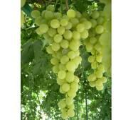 Виноград Антоний Великий (ІВН-92)