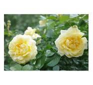 Роза почвопокровная НАадя Мейяндекор (ІТЯ-370)