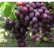Виноград Еверест (ІВН-89)