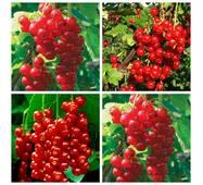 Комплект из 4-х сортов красной смородины (ІПР-26)