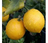 Саженцы лимона Киевский Крупноплодный