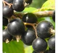 Саджанці смородини сорт Тисель (Tisel), 1 літні