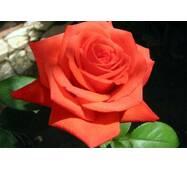 Троянда чайно-гібридна Корвет