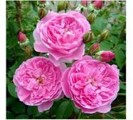 Саджанці троянди сорту Merlin (Мерлін)