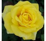 Роза чайно-гибридная КЕРН (ІТЯ-350)