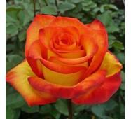 Роза чайно-гибридная Хай меджик (ІТЯ-245)