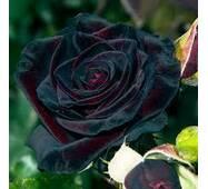 Троянда чайно-гібридна Чорний Барон NEW