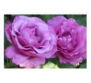 Роза флорибунда Шокинг Блю (ІТЯ-310)