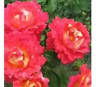 Троянда паркова Павлиный очей