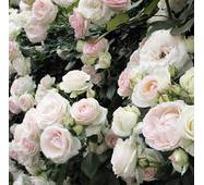 Троянда плетиста Мон Блан