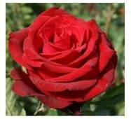 Троянда чайно-гібридна Ред Берлін