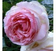 Троянда англійська Едем