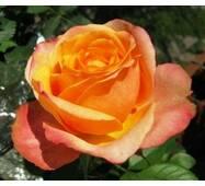 Троянда плетиста повний Місяць