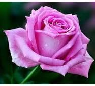 Троянда чайно-гібридна Аква