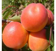 Саджанці абрикоси сорт Том Кіт