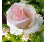 Троянда чайно-гібридна сорт Вивальди