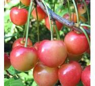 Саджанці черешні сорт Присадибна