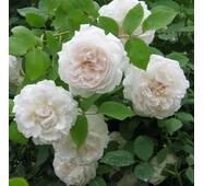 Троянда Shining Bright   (Сяюча наречена)