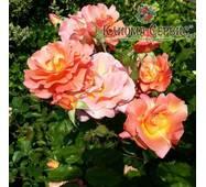 Саджанці троянд Westerland (Вестерленд)