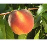 Персик сорт PF 13 Елоу Пітч (середньо-пізній)