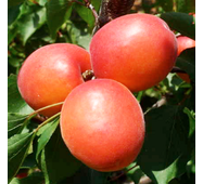 Саджанці абрикоси сорт Приция