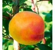 Саджанці абрикоси сорт Шедевр