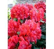 Рододендрон гібридний Erato 3 річний, Рододендрон гибридный Ерато, Rhododendron Erato