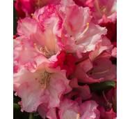 Рододендрон якушиманський Loreley 2 річний, Рододендрон якушиманский Лорелей, Rhododendron Loreley
