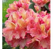 Рододендрон гібридний Brasilia 3 річний, Рододендрон гибридный Бразилия, Rhododendron Brasilia