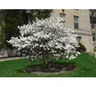 Магнолія Кобус з насіння 3 річна, Магнолия Кобус из семян,  Magnolia kobus