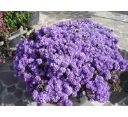 Рододендрон щільний Blue Tit 3 річний, Рододендрон плотный Блю Тит, Rhododendron Blue Tit