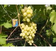 Виноград Ландыш (ІВН-51)