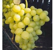 Виноград Аркадія (ІВН-16)