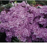 Азалія японська Ledicanense 2 річна, Азалия японская Ледиканенс, Rhododendron / Azalea japonica Ledicanense