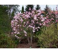 Магнолія pinkie 2 річна, Магнолия Пинки, Magnolia pinkie