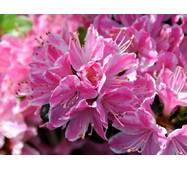 Азалія японська Kermesina Rosea 3 річна, Азалия японская Кермезина Розеа, Azalea japonica Kermesina Rosea