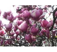 Магнолія Суланжа Рожева з насіння 1 річна, Магнолия Суланжа Розовая из семян, Magnolia X soulangeana