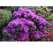 Азалія японська Geisha Purple 4 річна, Азалия японская /рододендрон Гейша Пурпл, Azalea japonica Geisha Purple