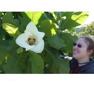 Магнолія Крупнолистна / Великолистна 2 річна, Магнолия крупнолистная, Magnolia macrophylla