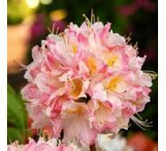 Рододендрон листопадний Satomi 3 річний, Рододендрон листопадный Сатоми, Rhododendron Satomi